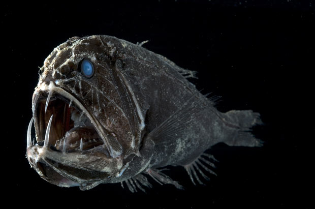 fangtoothfish